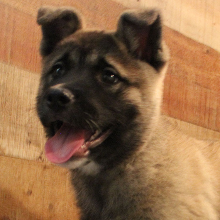 Akita (M#2) My Name Is Alex *Reg  $1699 99 Reduced $999 99 cash