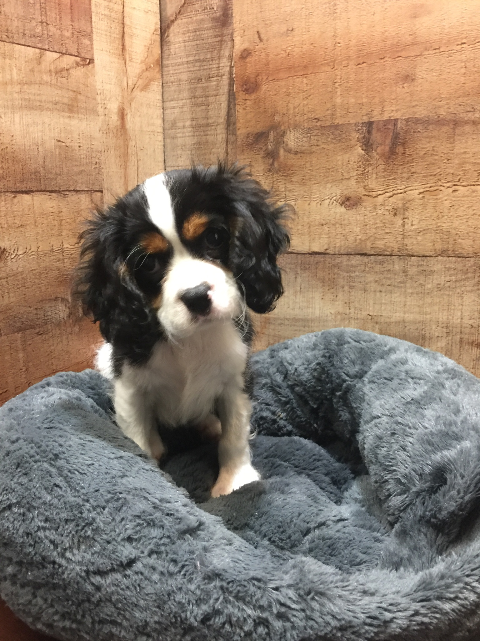 Cavalier King Charles Spaniel (M#1) My Name Is Chipper ...